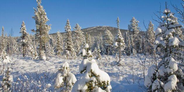 Ras för föryngringsavverkning i fjällnära skog