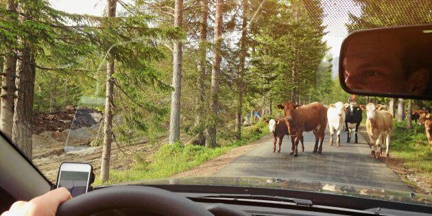Förrymda kor har tagit över by i Alvesta