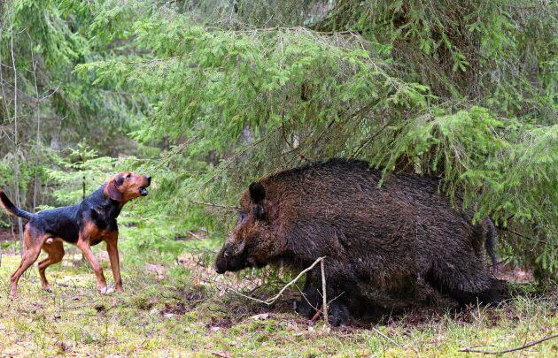 Såna här situationer tränar Emma Olsson sina hundar för. Bilden visar en hund av rasen gonchak.