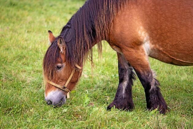 För att efterlikna nötköttsproduktionen använder Sara Rosqvist hästar som är mellan 2 och 5 år gamla.