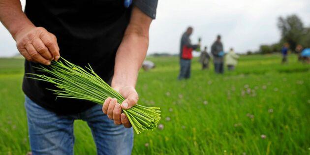 Högsäsong för dill- och gräslöksodlarna