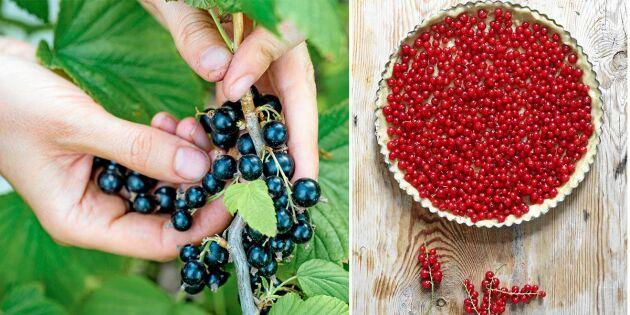 GUIDE: Älskade vinbär – plantera, föröka och tillaga