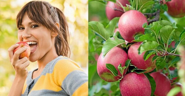 Ett äpple innehåller 100 miljoner bakterier. Nyskördade, ekologiska innehåller många fler av den nyttiga sorten, visar ny forskning.