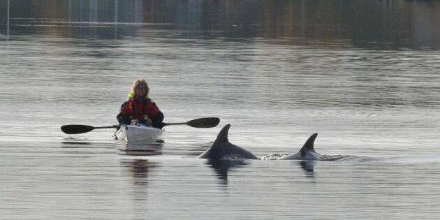 """Ankis oväntade möte på höstpaddlingen: """"Delfinerna sökte upp oss!"""""""