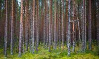 SCA köper 10000 hektar estnisk skog