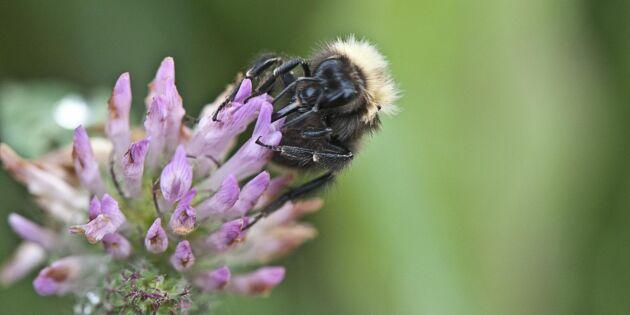 Svenskt Sigill ska rädda fler humlor och bin
