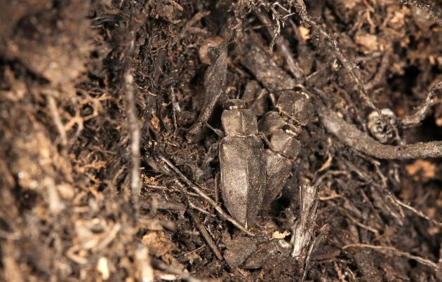 Sotsvarta praktbaggar parar sig kring en plats där rök fortfarande stiger upp från marken.
