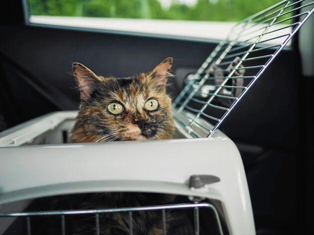 Att ha katten i bur i bilen är ett säkert sätt att transportera ditt djur. Men se till så att buren har rätt mått!