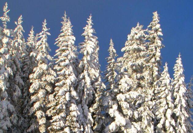 Snön är tung för trädtopparna.
