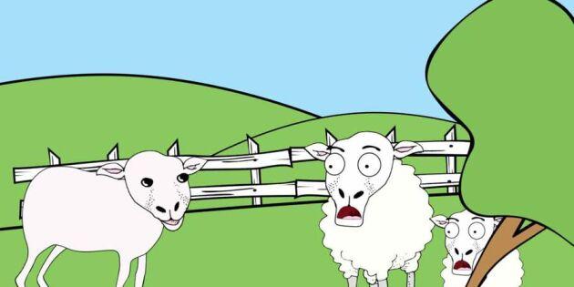 Bäää! Allt om fåret – på en minut