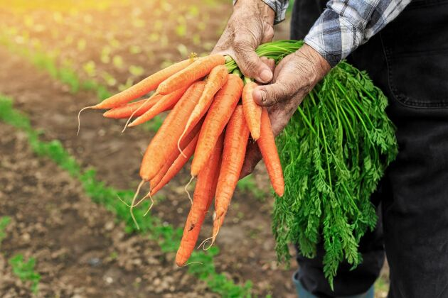 Sverige är helt självförsörjande på endast morötter, socker och spannmål.