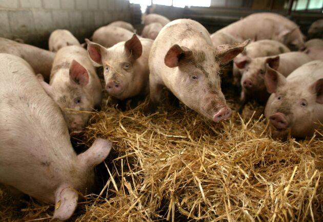 """""""Hjärtats aktivitet måste vara med i definitionen av död, speciellt för gris"""", enligt Josefine Jerlström."""