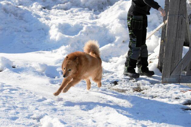 Hunden Eldar tar glädjeskutt i snön. Han får ofta följa med till skogen.