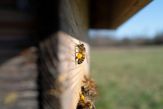 När bin samlar in nektar och pollinerar växter bidrar deras arbetet till att stärka ekosystemet.