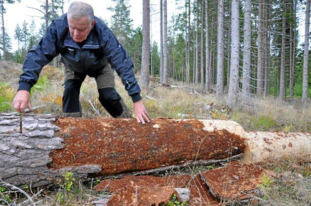 Här såg Rolf nyligen en spillkråka som hackade efter larver under barken.