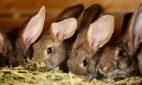Kaninproducenter blir allt fler