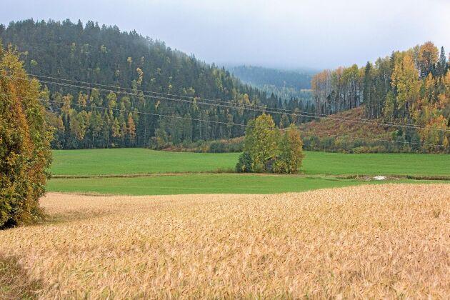 Spannmålsodlingen ökar i Västerbotten efter att ha legat på mycket låg nivå. Det ansågs mer lönsamt att köpa foder.
