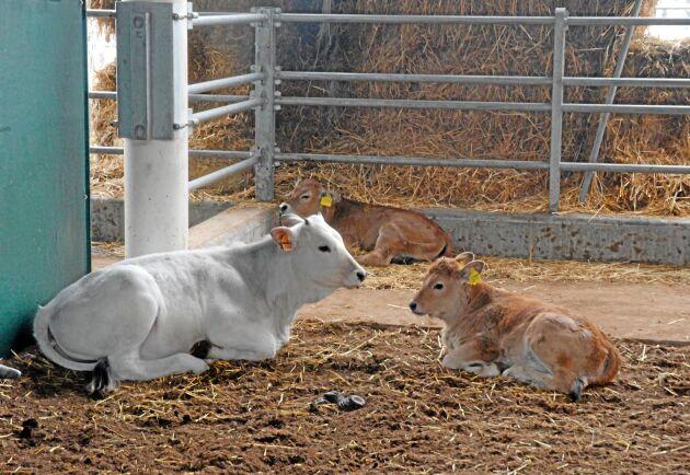 I stallarna finns flera olika typer av kor, som även föder sina kalvar här.