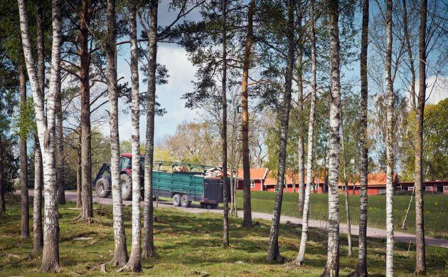 Djur från Henrik Nissers gård i Alstrum norr om Karlstad är som brukligt i mitten av maj på väg ut till sitt naturbete.