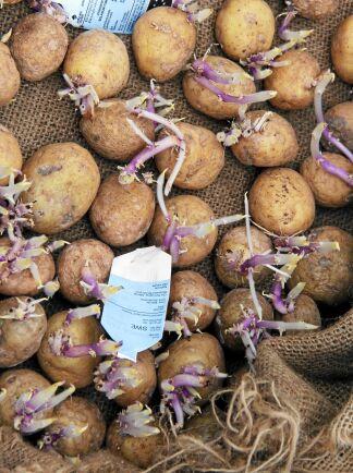 Toluca-potatis på groddning.