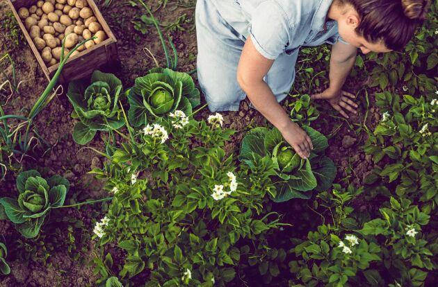Alla grönsaker kommer från restaurangens egna odlingar.