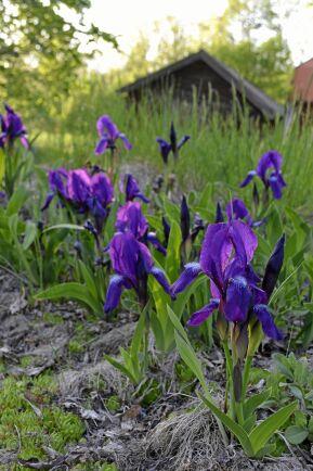 Iris är en av de växter som odlats längst i våra trädgårdar, här växer de vid en lada från 1600-talet.