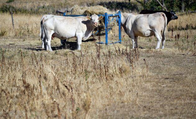 Kor äter hö som satts ut i torkan på en betesmark utanför Malmö. Arkivbild.