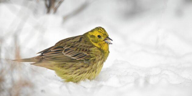 Bästa snabbmaten till vinterns småfåglar – och så ska den serveras