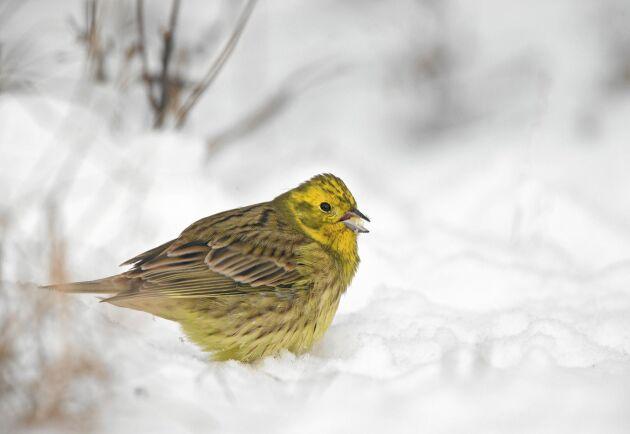 Gulsparv är en av alla småfågelarter som uppskattar havregryn. Dränk in dem i matolja (grynen alltså!) så ger de fåglarna mer energi, vilket de behöver så här i slutet av vintern.