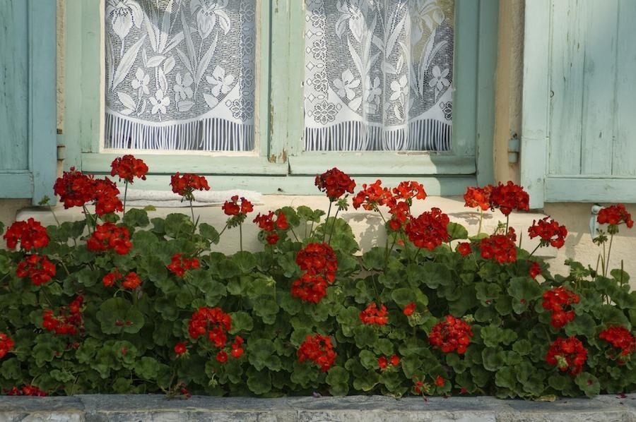 Geraniums at window