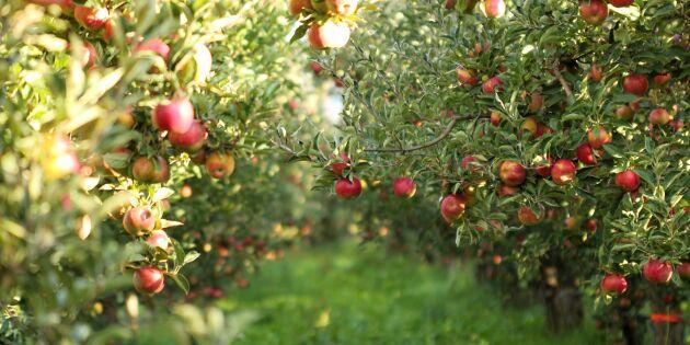 Äpplen - visste du det här om äpplen?