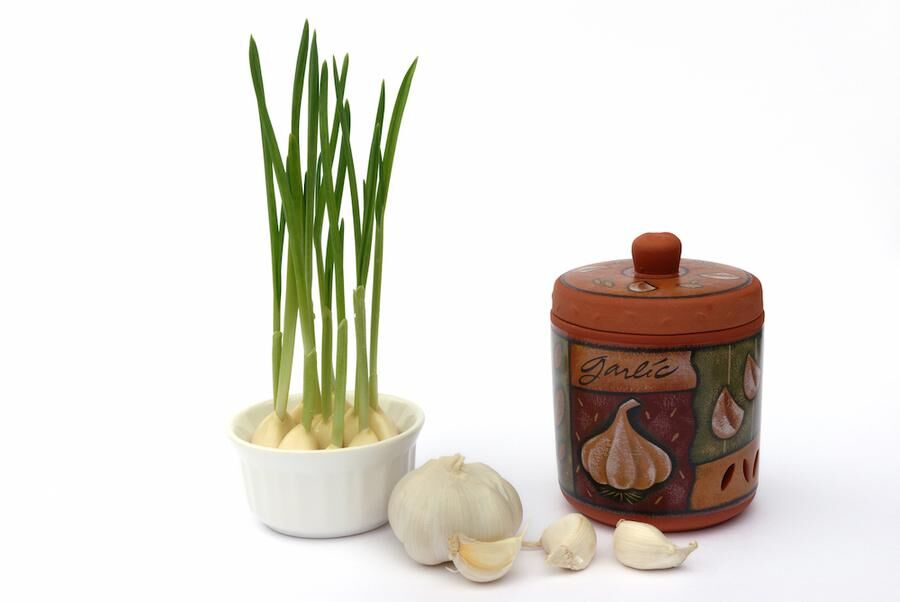 garlic keeper and green sprouts