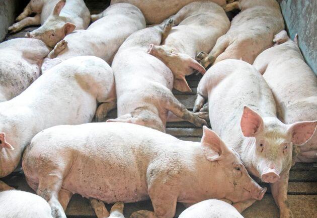 Industrin är storskalig och domineras av ryska storbolag. Men dansknorska Russia Baltic Pork Invest har snart fyrfaldigat sin produktion i Kaliningrad (bilden) och Nizjnij Novgorod.