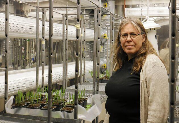 Forskaren Eva Johansson står i klimatkammaren där de arbetar med att ta fram klimatstabila grödor, bland annat vete.