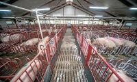 Nu sänks danska grispriset