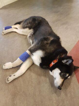 Vård i det vilda - där lär sig jägare att vårda både människa och hund och hur de ska bete sig om olyckan skulle vara framme när man är långt ute i skogen.