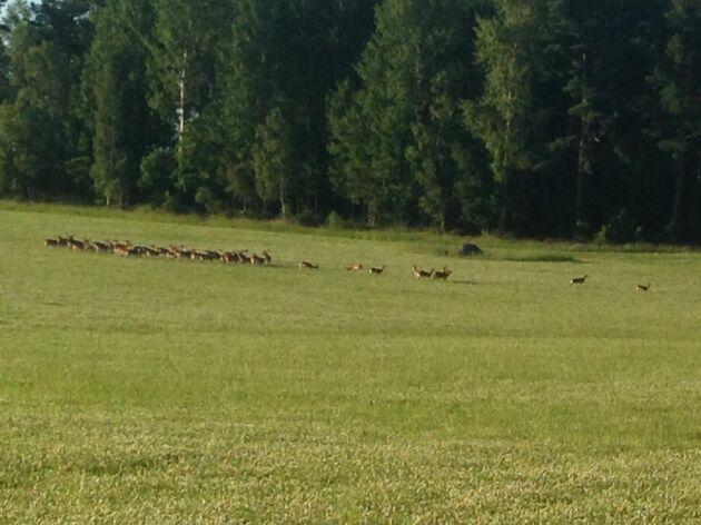 Dovhjortar är gräsätare och finns i stora antal i delar av Sörmland.