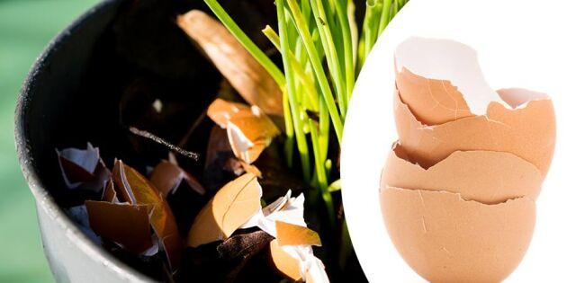 Släng inte äggskalen – en riktig räddare i nöden