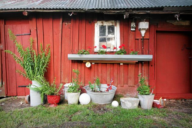 Gamla zinkhinkar och mjölkkannor får tjänstgöra som blomkrukor och vaser - vackra mot den nymålade ladan.
