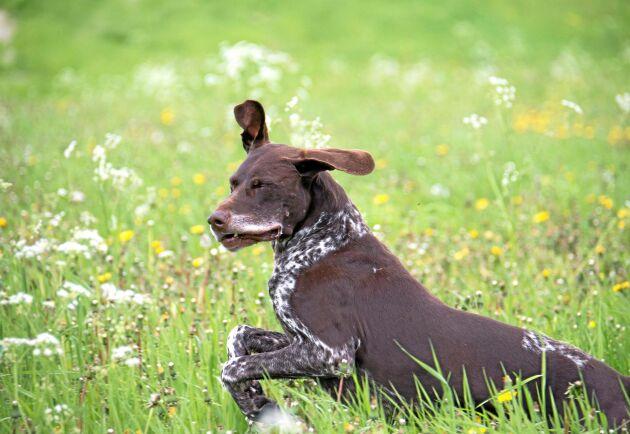 Hunddressyr av framför allt stående fågelhundar är populärt