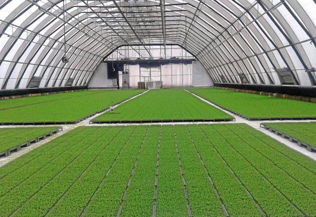 Trädplantor. Här växer microplantor i microbrätt.