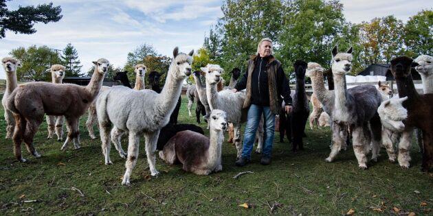 """""""Många fåruppfödare har gått över till alpackor"""""""
