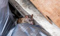 Oklart läge om råttbekämpning
