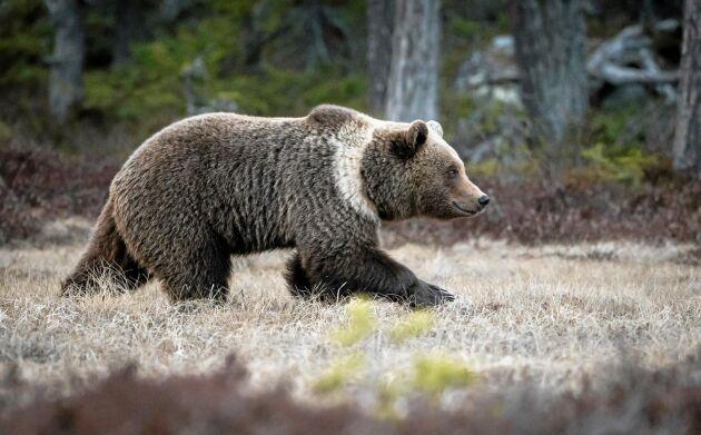 Strax efter skymningen kommer en stor björn med en tydlig och ljus halskrage.