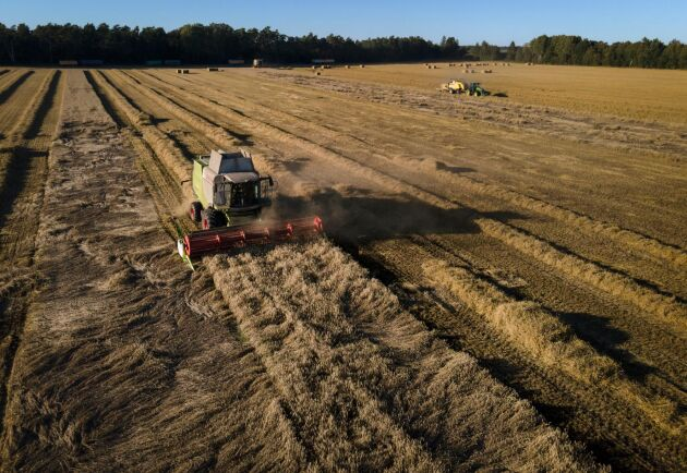 Gotland står för den största arealen durumvete i Sverige: 1200 hektar 2020