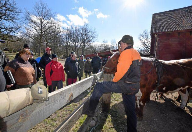 Yngve Henrikssons oxkörarkurser är mäkta populära. Deltagarna reser från hela landet.
