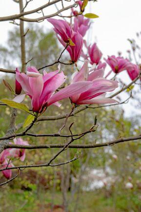 'Spectrum' har knalligt rosa blommor.