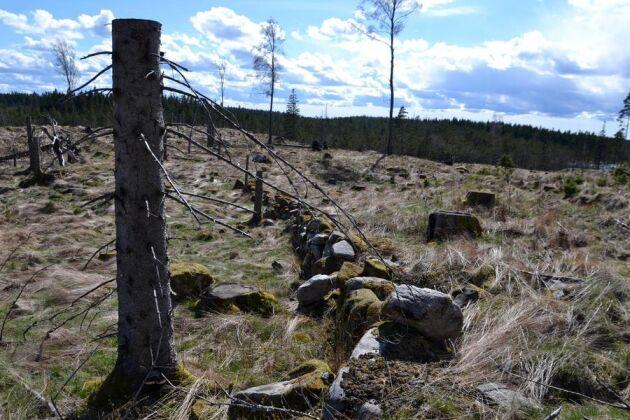 En kulturstubbe markerar här en stensatt väg från den tid då det låg ett torp här i skogen.