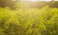 Skogsbrand var brinnande cannabisodling