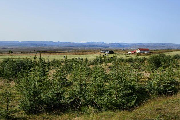 En plantering av sitkagran i närheten av en bondgård i Flókadalur på västra Island.
